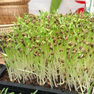 ปลูกผักบุ้งอ่อนใช้เวลาแค่ 7 วัน